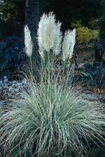 Pampas Grass- White- 100 Seeds