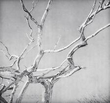 1930/63 Vintage 11x14 CHESTNUT Tree Branch Abstract Photo Art By EDWARD STEICHEN