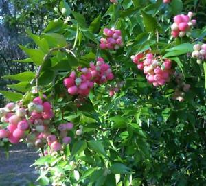 "Wax Apple Pink ( Syzygium samarangense) Live Fruit Tree  12""-24"""