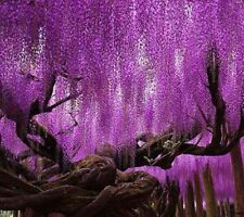 Rare Purple Wisteria Flower Seeds for DIY home garden plants Wisteria sinensis (