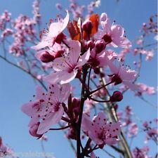 Prunus cerasifera Nigra / Purple leaf Cherry Plum Tree grown peat free 4ft+
