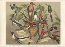 1897 EXOTIC HUMMINGBIRD BIRDS Antique Chromolithograph Print