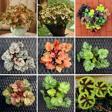 200X Begonia Flower Seeds Potted Bonsai Garden Court Beautiful Mixed Leaf Grass