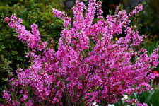 Dwarf Russian Almond, Prunus tenella 5 seeds
