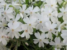 Creeping Phlox Subulata 'White Delight' Perennial Plug Plants Pack x6