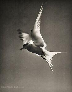 1958 Vintage ELIOT PORTER Tern In Flight Sea Bird Gull Sky Animal Photo Art 8X10