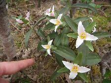 5 PUSILLUM TRILLIUM (Dwarf) trillium  BULB ROOTS NATIVE WILDFLOWERS