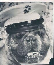 1965 Cute English Bull Dog Lance Cpl Klinker Wears Hat US Marines Press Photo