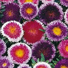 20+ GIANT BLUE MOON/RED MOON ASTER FLOWER SEEDS MIX  / RESEEDING ANNUAL