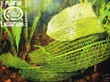 5Aponogeton Madagascariensis, Breite Gitterpflanze