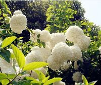 1 Pack 20 White Hydrangea Flower Seeds Laurustinus Garden Flowers