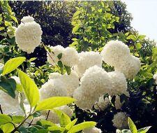 20 White Hydrangea Flower Seeds Laurustinus Garden Flowers S029