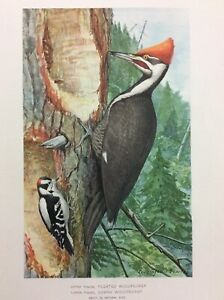 Antique 1901 LOUIS AGASSIZ FUERTES Bird Print PILEATED & DOWNY WOODPECKER