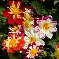 Kings Seeds - Dahlia Dandy - 35 Seeds