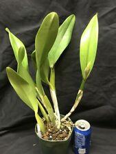 Blc. Suvarnabhumi Delight `Salmon Queen' Orchid Plant