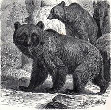 Brown Bear 1894 Mammal - Gustav Ludwig Heinrich Mützel Victorian Engraving
