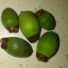 New listing Queen Palm trees (seeds)From Southern California.