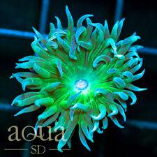 New listing Asd - 056 Acid Spill Space Trip Duncan - Wysiwyg - Aqua Sd Live Coral Frag