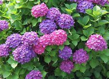 Flower tree seeds Perennial shrubs Hydrangea hortensia large round flowerheads