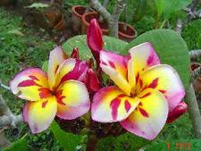 """Plumeria/Frangipani/ 300 Seeds/Flowers/""""threekings""""!!!"""
