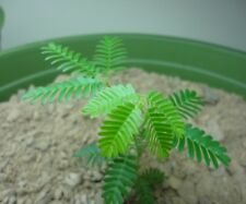 20 - Mimosa Hostilis Seeds - (Mimosa Tenuiflora) - (Jurema Preta)