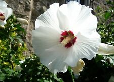 """50 Hibiscus Syriacus Bianco """"RED HEART""""semi, seeds"""
