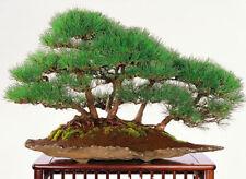 Kiefern Bonsais (Pinus) - Bäume