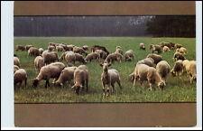 Tier Motivkarte Schaaf Schaafherde Planet Verlag ungelaufen Postcard Animals