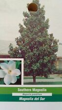 Southern Magnolia Tree Large Flowering Trees Plant New Landscaping Shade Flowers