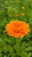 Ringelblume Mischung goldgelb,orange, braun für  Balkon, Topf, Kübel, Garten,