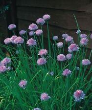 Blumenzwiebeln, Knollen & Rhizome Allium