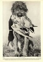 1930s Antique Spinone Italiano Dog Print Vintage Spinone Italiano Photo 3420-U