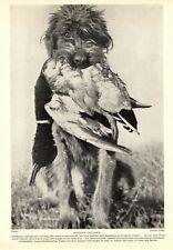 1930s Antique Spinone Italiano Dog Print Vintage Spinone Italiano Photo 3420-U