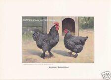 Mechelner Kukukshühner Hühner Farbdruck 1925 Reprint