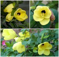 50 semillas de Bauhinia tomentosa, árbol de orquídea,seeds S