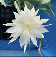 """Epiphyllum pumilum 4"""" Collector Plant Division Fast Growing NOT ROOTED YET (15)"""
