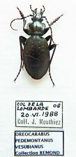 Carabus oreocarabus pedemontanus vesubianus (male A1 was pinned) from FRANCE