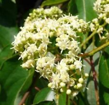 50 Hovenia Dulcis seeds, Japanese Raisin tree, anti-hangover remedy