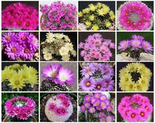 Mammillaria Mix exotic pincushion flower bonsai cacti rare cactus seed 250 Seeds
