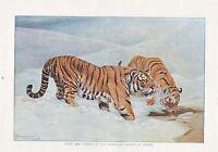 1910 Naturel History Double Faces Imprimé ~ Géant Heron Mer Eagle / Tigers