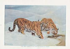 1910 NATURAL HISTORY DOUBLE SIDED PRINT ~ GIANT HERON SEA EAGLE / TIGERS