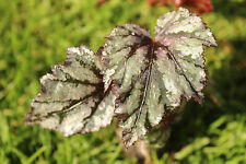 BEGONIA 'GARDEN ANGEL BLUSH' Pewter Pink Leaves Likes Shade- Starter PLUG PLANT