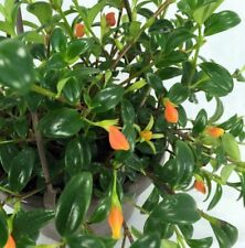 "Goldfish Plant - Columnea Gloriosa Plant - 1 Plants - 8"" Long - Ship in 3"" Pot"