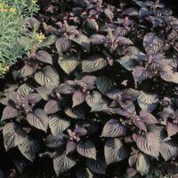 Beefsteak Plant- Perilla- 50 Seeds -