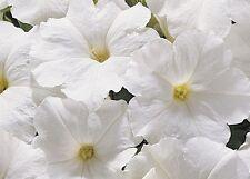 Petunia Express Blanco - 50 Bolitas Semillas - Anual
