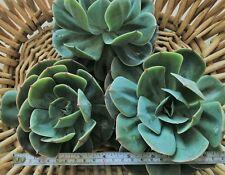 Echeveria Imbricata 5 pack, fresh cuttings, over 10cm wide