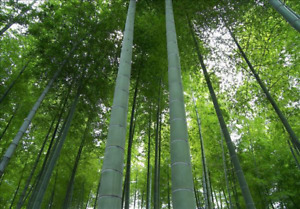 200+ Bamboo Seeds 'MOSO' - Phyllostachys edulis - Rare Privacy Screen US SELLER