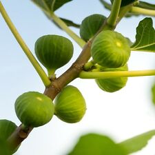 HARDY FIG FRUIT TREE Green Ischia Plant Verte, Strawberry, Figue D'Espagne Couer