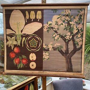 BEAUTIFUL ORIGINAL VINTAGE CZECH BOTANICAL CHART AN APPLE TREE 1947