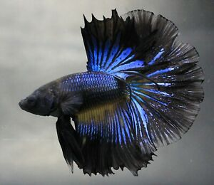 Pet Fish Betta Plakat Live Thai Rare Breed Fight Flower Aquarium Male Black Blue
